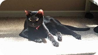 American Shorthair Kitten for adoption in Houston, Texas - Frankie