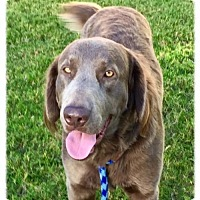 Labrador Retriever/Poodle (Standard) Mix Dog for adoption in Denton, Texas - Wrangler