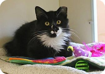 Domestic Mediumhair Kitten for adoption in Gloucester, Massachusetts - Oscar