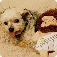 Adopt A Pet :: Mr. Rags - Las Vegas, NV