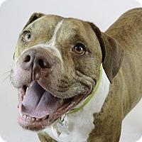 Mastiff/Bulldog Mix Dog for adoption in Kittery, Maine - ZEUS