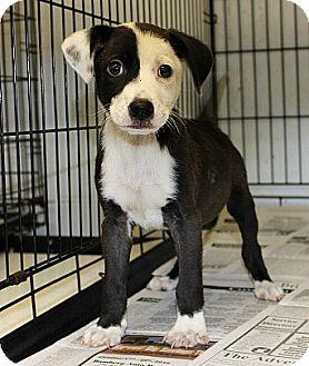 Labrador Retriever Mix Puppy for adoption in Philadelphia, Pennsylvania - Dell