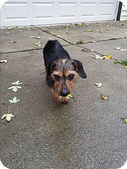 Dachshund/Terrier (Unknown Type, Small) Mix Dog for adoption in Garden City, Michigan - Queenie