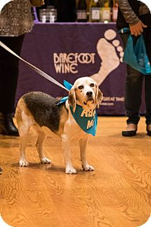Beagle Dog for adoption in Cincinnati, Ohio - Elise: Terrace Park