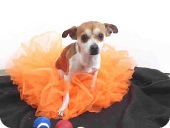 Chihuahua Mix Dog for adoption in Oroville, California - A571118