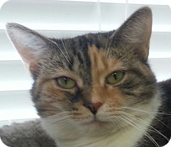 Domestic Shorthair Cat for adoption in Lexington, Kentucky - Caterpillar
