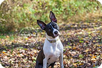 Pit Bull Terrier/Border Collie Mix Puppy for adoption in East Hartford, Connecticut - Panda