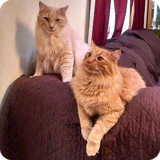 Maine Coon Cat for adoption in Arlington, Virginia - Hap and Pontiac