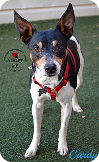 Rat Terrier Mix Dog for adoption in Youngwood, Pennsylvania - Cardy