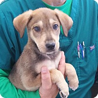 Shepherd (Unknown Type) Mix Dog for adoption in West Palm Beach, Florida - Abu