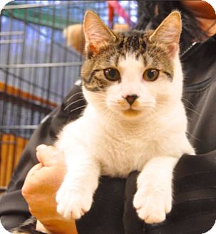 Domestic Shorthair Cat for adoption in Smithers, British Columbia - DJ