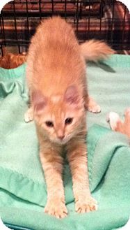 Domestic Longhair Kitten for adoption in Harriman, NY, New York - Sammy