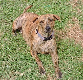 Plott Hound Mix Dog for adoption in McKinney, Texas - Eleanor