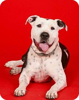 American Staffordshire Terrier Mix Dog for adoption in Marina del Rey, California - Indie