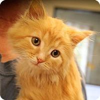 Adopt A Pet :: Han Solo - Ann Arbor, MI