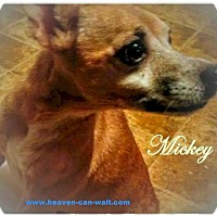 Adopt A Pet :: Mickey 'Chupacabra' - Akron, OH