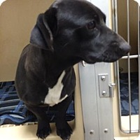Adopt A Pet :: Baxter - Lincolnton, NC