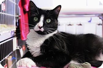 Domestic Shorthair Cat for adoption in Bellevue, Washington - Megatron