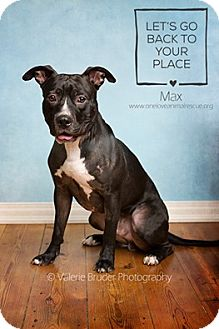 Staffordshire Bull Terrier Mix Dog for adoption in Mount Laurel, New Jersey - Max