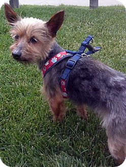 Yorkie, Yorkshire Terrier Mix Dog for adoption in Mt. Prospect, Illinois - Clancy