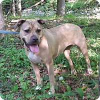 Pit Bull Terrier Mix Dog for adoption in Washingtonville, New York - Nike