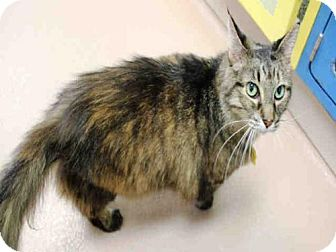 Maine Coon Cat for adoption in Plano, Texas - ROXY