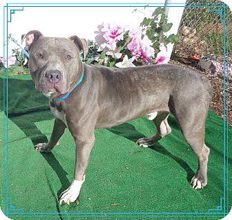 Pit Bull Terrier Mix Dog for adoption in Marietta, Georgia - CARL - see video