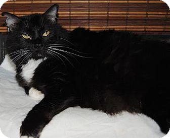 Domestic Mediumhair Cat for adoption in Ridgeland, South Carolina - Nosy