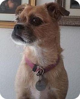 Pug Mix Dog for adoption in Gilbert, Arizona - Roxi
