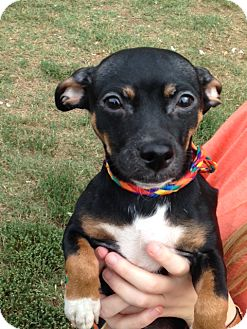 Chihuahua/Dachshund Mix Dog for adoption in Cleveland, Tennessee - Bear