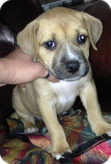 American Bulldog/Labrador Retriever Mix Puppy for adoption in Boston, Massachusetts - Annie