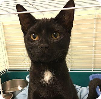 Domestic Shorthair Kitten for adoption in Wayne, New Jersey - Lennon