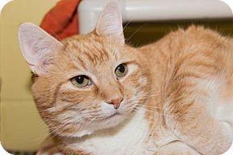 Domestic Shorthair Cat for adoption in Lowell, Massachusetts - Jake