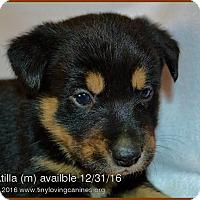 Adopt A Pet :: Atilla - Simi Valley, CA