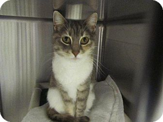 Domestic Shorthair Cat for adoption in Grand Junction, Colorado - Fitz