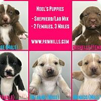 Adopt A Pet :: Noel's Puppies - Agoura Hills, CA