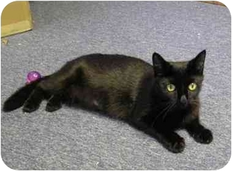 Domestic Shorthair Cat for adoption in Boston, Massachusetts - Gia