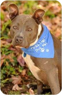 American Staffordshire Terrier Mix Dog for adoption in Long Beach, California - Sterling - video included!