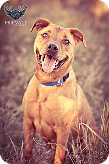 American Pit Bull Terrier/Rottweiler Mix Dog for adoption in Marion, Wisconsin - Will