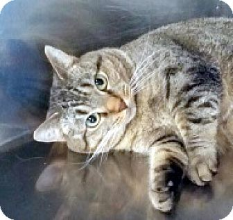 Bengal Cat for adoption in Germantown, Maryland - Samantha