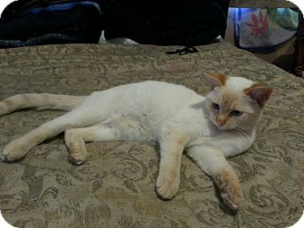 Siamese Cat for adoption in Monrovia, California - Stinky