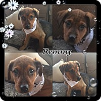 Adopt A Pet :: Remmy - pending adoption - Manchester, CT