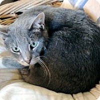 Domestic Shorthair Cat for adoption in Stanhope, New Jersey - Blossom