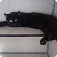 Adopt A Pet :: Bagheera - Fort Collins, CO