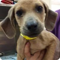 Adopt A Pet :: Kimber - Fort Collins, CO