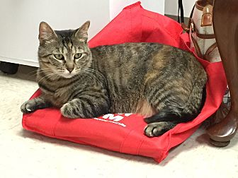 Domestic Shorthair Cat for adoption in Trevose, Pennsylvania - Annie