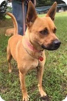 Pug/Beagle Mix Dog for adoption in Quinlan, Texas - Mama Mia