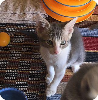 Domestic Shorthair Kitten for adoption in Scottsdale, Arizona - Billy Boss