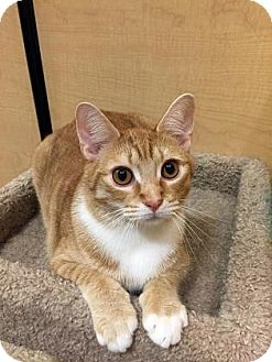 Domestic Shorthair Cat for adoption in Burlington, North Carolina - Jackson