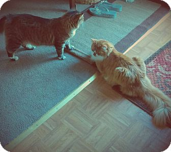 Maine Coon Cat for adoption in Sterling Hgts, Michigan - BELLA  and TONY